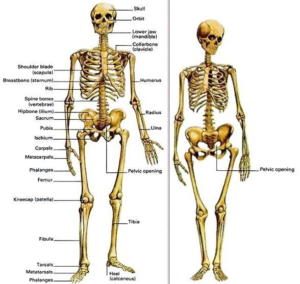 Squelette masculin et squelette féminin